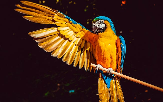 сине желтый ара