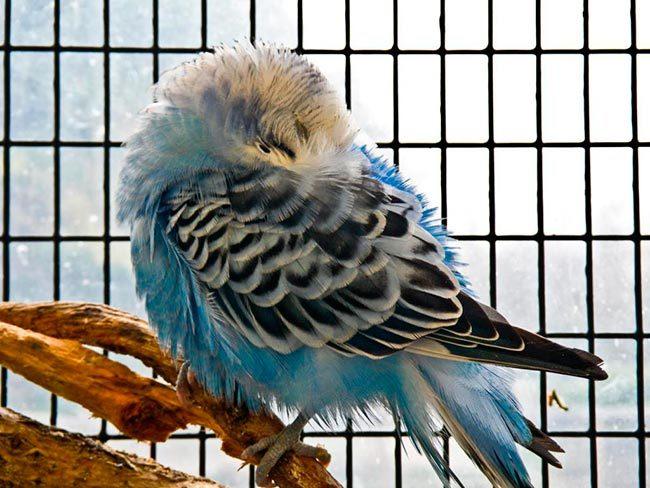 волнистый попугай спит