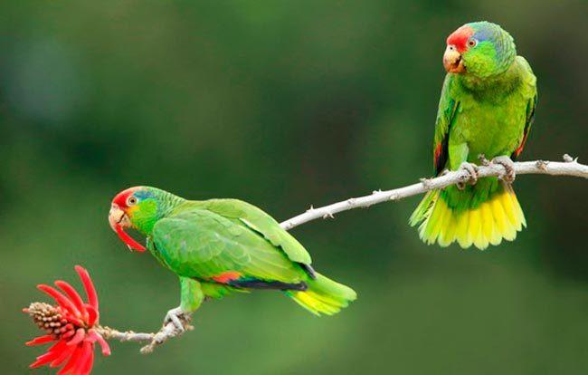 зеленощекие амазоны
