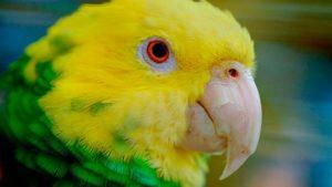 желтоголовый амазон