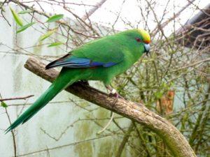 Новозеландский горный попугай.