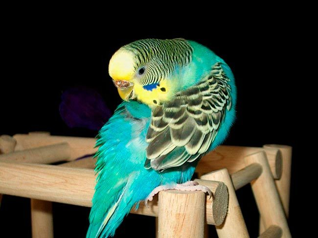 блохи у попугая