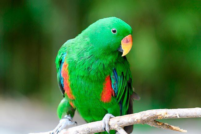 эклектус попугай