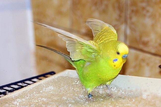 как купать волнистого попугая