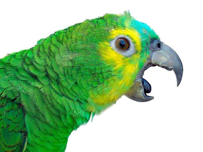как отучить попугая кусаться