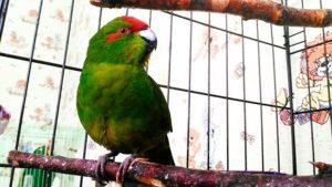 какарики попугаи