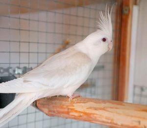 корелла белая