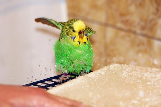 купается попугай