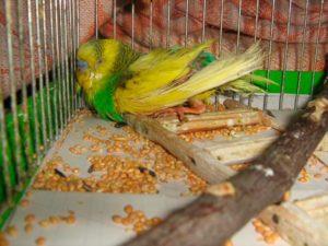 от чего может умереть попугай