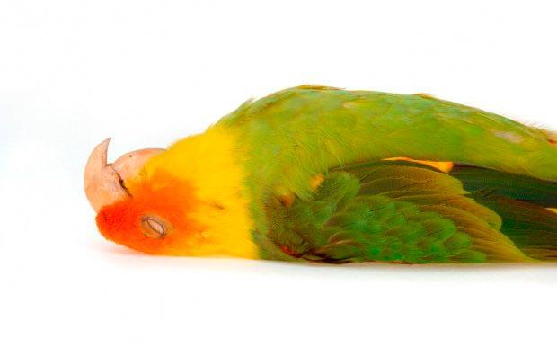 почему умер попугай