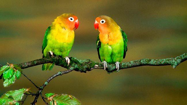 попугаи неразлучники можно ли держать одного
