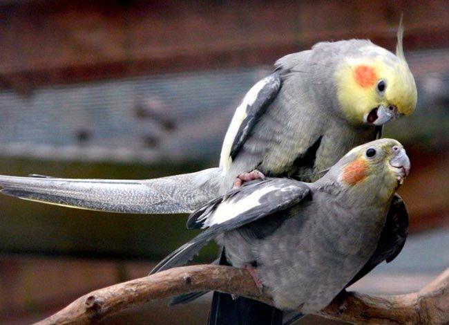 попугай корелла размножение