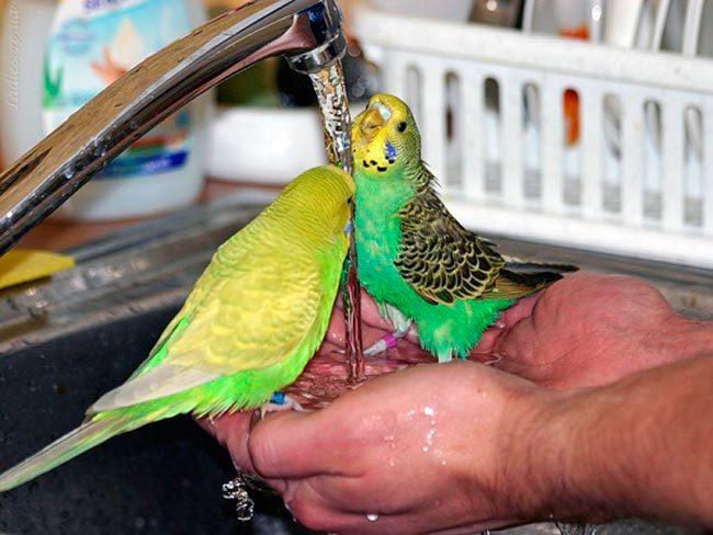 попугай купается под краном