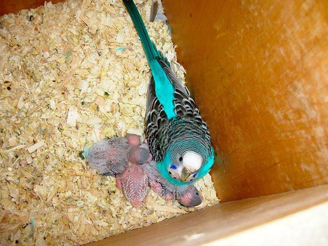 самка волнистого попугая с птецами