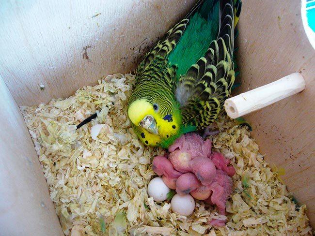 сколько высиживают яйца волнистые попугаи