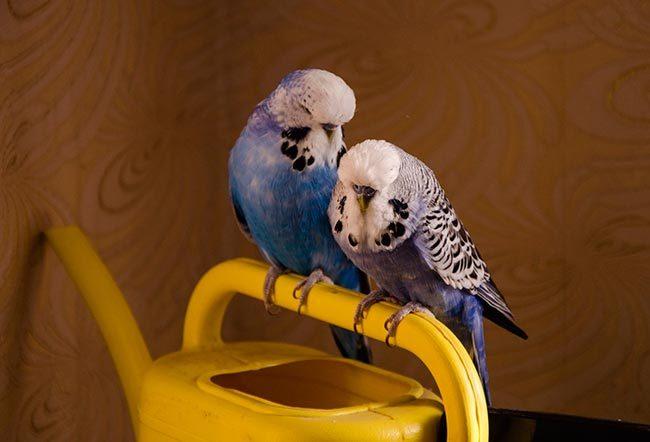 выставочный волнистый попугай