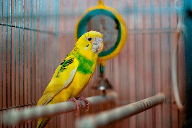 клещ у попугая