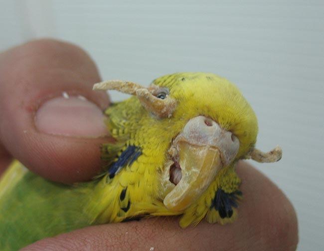 кнемидокоптоз у попугаев