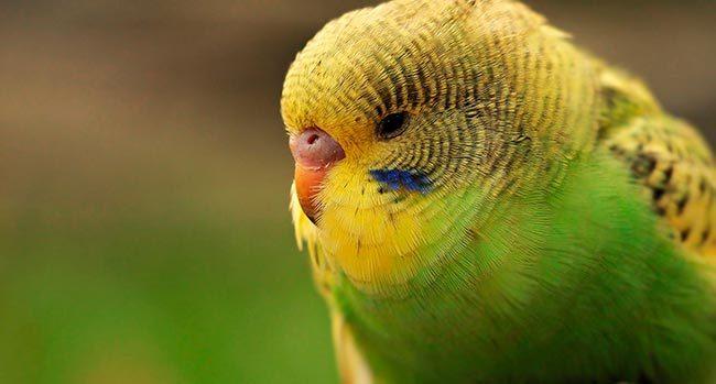 понос у попугая волнистого лечение