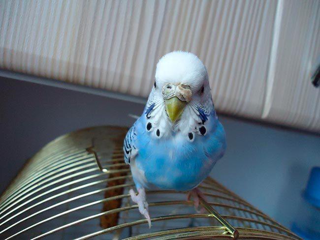 у попугая наросты возле клюва
