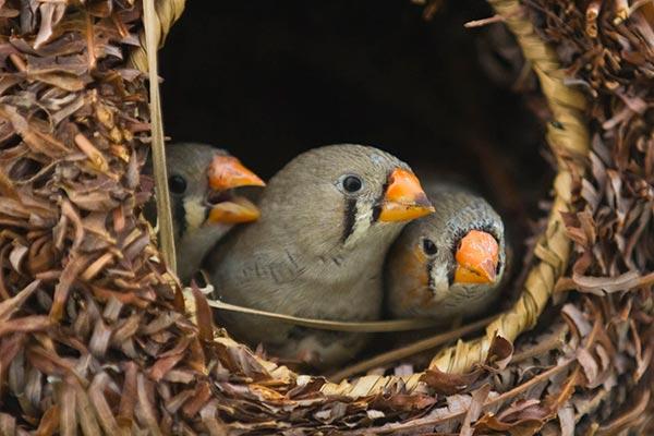 гнездо для амадинов