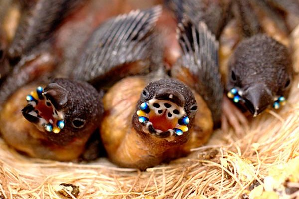 птенцы амадинов