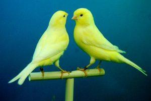 Желтые канарейки