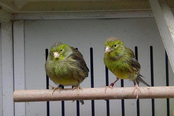 Зеленые канарейки