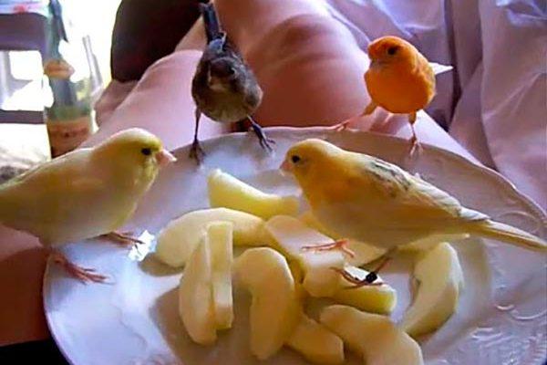 канарейки и яблоки