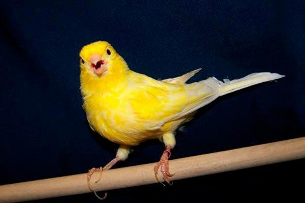 птица канарейка