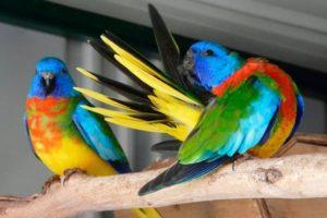Красногрудый травяной попугайчик