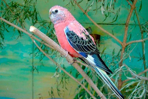 Розовобрюхий травяной попугайчик