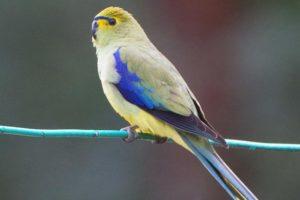 Синекрылый травяной попугайчик