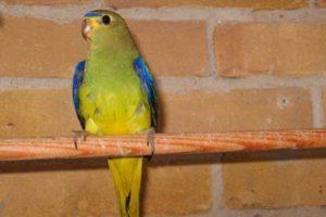 Украшенный травяной попугайчик