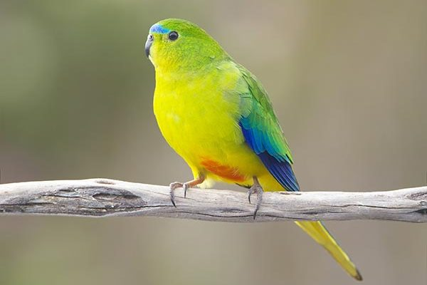 Золотистобрюхий травяной попугайчик