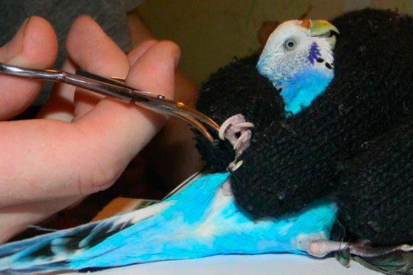 как подстричь когти попугаю волнистому