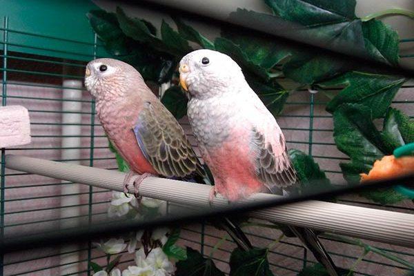 розовобрюхие травяные попугаи