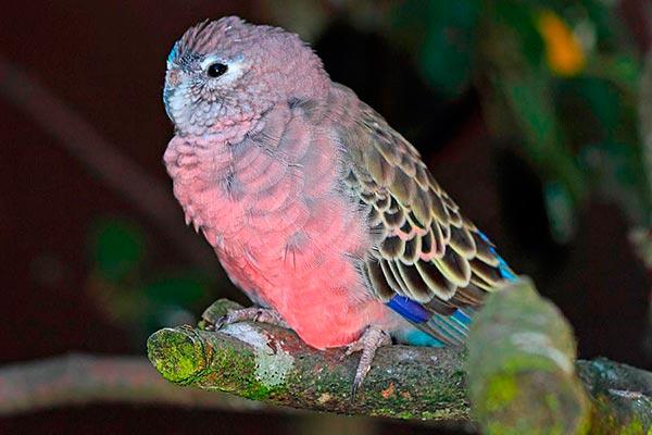 травяной розовобрюхий попугайчик