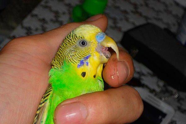 как обрезать клюв попугаю