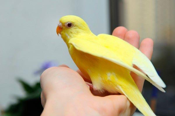 попугай лютино