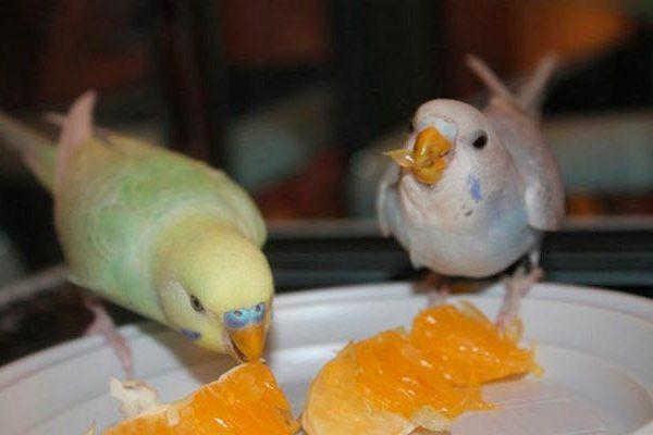 мандарины и попугаи