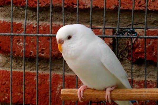 волнистик альбинос