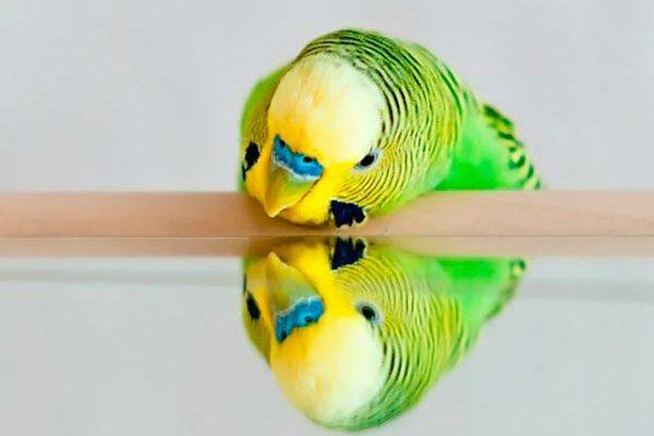 зеркало и попугай