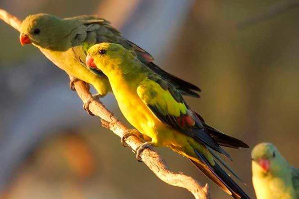 горные попугаи