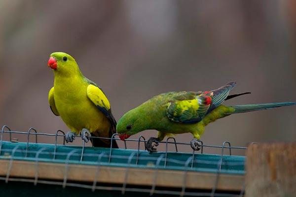 роскошные горнные попугаи