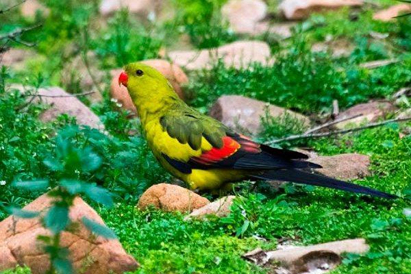 роскошный горный попугай