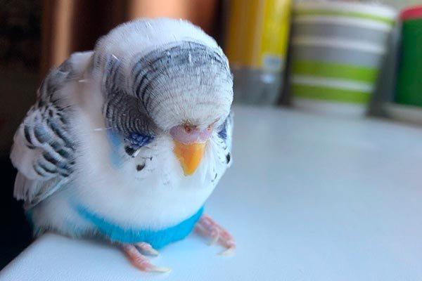 Вялый попугай