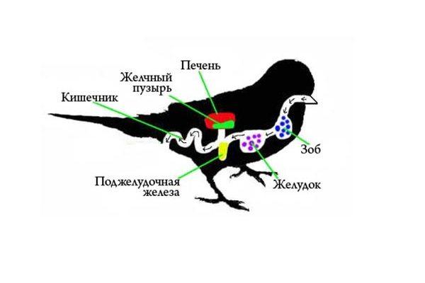 Зоб попугая