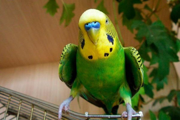 попугай дрожит