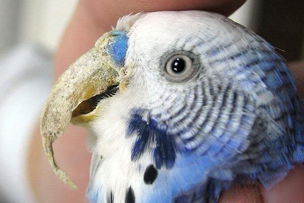 Отросший клюв попугая